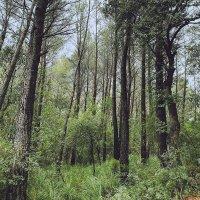 L.a. - Evergreen Oak